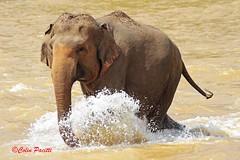 Sri Lankan elephant (elephas maximus maximus)29 (Colin Pacitti) Tags: srilankanelephant elephasmaximusmaximus asianelephant elephant running mammal herbivore animal outdoor pinnawalaelephantorphanage pinnawala srilanka fantasticwildlife coth hennysanimals ngc npc sunrays5 coth5