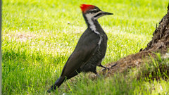 Pileated Woodpecker (ken.sparks33) Tags: bird woodpecker red headed