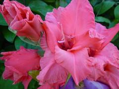 Pink Gladioli Flowers ! (Mara 1) Tags: tall stem pink outdoors flowers gladioli petals head