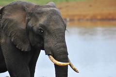 Elephant (jhderojas) Tags: kenia aberdare