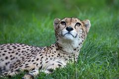 Diva (Mel.Rick) Tags: zooparc overloon raubtiere raubkatzen groskatzen sugetiere natur tiere gepard