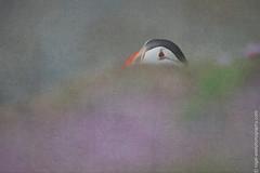 DSC_4589-2 (nigelsnell) Tags: birds puffinfraterculaarctica salteeisland bird ononesoftware photo10 textures