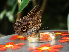 Eulenschmetterling (mohnblume2013) Tags: falter schmettterling insekt tier