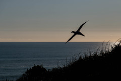 Muriwai gannet (marshall_gardiner) Tags: auckland nz gannet colony flight flying shadow silhouette