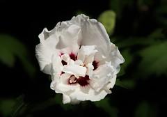 Flower (Hugo von Schreck) Tags: hugovonschreck blume blte flower outdoor macro makro canoneos5dsr tamron28300mmf3563divcpzda010 pflanze