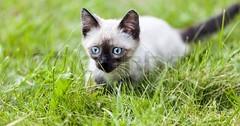 Beautiful Cat With Blue Eyes via http://ift.tt/29KELz0 (dozhub) Tags: cat kitty kitten cute funny aww adorable cats