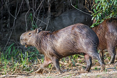 A capybara walking (Tambako the Jaguar) Tags: capybara rodent profile walking sand vegetation wildanimal wild wildlife nature pantanal matogrosso brazil nikon d5