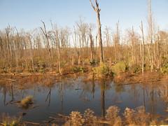 Alabama: winter wetland (green voyage (falling behind again)) Tags: trees winter usa december afternoon alabama trains amtrak swamps wetlands tupelo nyssa gulfcoastregion