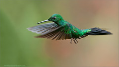 Green-crowned Brilliant in Flight (Raymond J Barlow) Tags: green bird nature costarica wildlife adventure birdinflight 200400vr nikond300 raymondbarlowtours