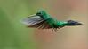 Green-crowned Brilliant in Flight (Raymond J Barlow) Tags: green bird nature costarica wildlife adventure birdinflight 200400vr nikond300 raymondbarlowtours