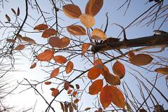 (uzi yachin) Tags: autumn fall leaves israel leaf 2011 diospyroskaki  5dmark2 israel