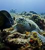 trtlangels0881 (gerb) Tags: topv111 coral 1025fav 510fav wow ilovenature topv555 topv333 underwater turtle scuba fv5 loveit pi cozumel sponge angelfish hawksbillturtle tvp aquatica frenchangel d7000 sigma1017fe