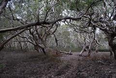 Melaleuca wetland (dustaway) Tags: trees plants nature australia bark swamp nsw wetlands trunk treebark australianlandscape treescape northcoast melaleuca myrtaceae sedges swampforest melaleucaquinquenervia australiantrees broadleavedpaperbark belbowrie northcoastbotanicalsubdivision