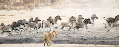 """Lion chasing Zebra in Etosha National Park, Namibia • <a style=""""font-size:0.8em;"""" href=""""https://www.flickr.com/photos/21540187@N07/8292841490/"""" target=""""_blank"""">View on Flickr</a>"""