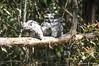 357-366 Tawny Frogmouth family (kathiemt1) Tags: tree grey shadows branches streaked avian birdwatcher tawnyfrogmouth podargusstrigoides australianbirdlife freedomtosoarlevel1birdphotosonly freedomtosoarlevel1birdsonly
