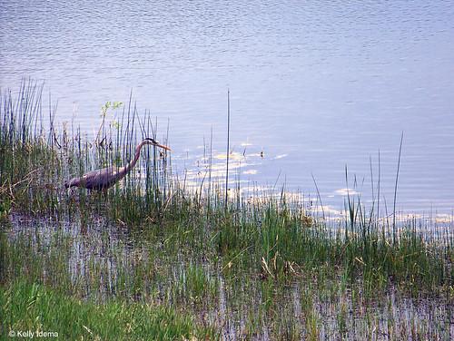Photo - Blue Heron on Wonderland Lake