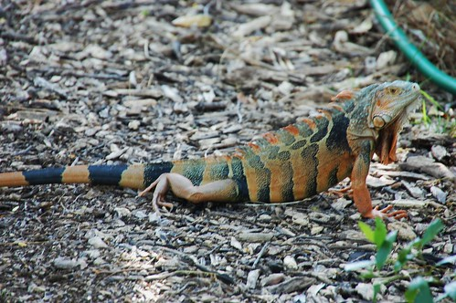 Key West Botanical Garden   Grüner Leguan, Fast Ausgewachsen