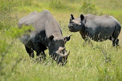 Black rhino (Arno Meintjes Wildlife) Tags: africa park camp wallpaper holiday color art nature animal animals closeup southafrica bush wildlife safari explore endangered animalplanet rhinoceros mammalia rsa krugernationalpark mpumalanga krugerpark carnivore birdwatcher excellence big5 naturelovers knp blackrhinoceros sanparks naturesfinest naturescall dicerosbicornis flickrsbest meintjes hooklippedrhinoceros colorphotoaward arnomeintjes naturewatcher internationalgeographic naturesgreenpeace