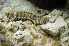 Mantis Shrimp, Gonodactylus chiragra (Fabricius, 1781) (Misenus1) Tags: japan okinawa animalia arthropoda onna mantisshrimp malacostraca stomatopoda gonodactylidae taxonomy:kingdom=animalia taxonomy:class=malacostraca taxonomy:phylum=arthropoda maedaflats taxonomy:binomial=gonodactyluschiragra taxonomy:family=gonodactylidae taxonomy:order=stomatopoda gonodactyluschiragra