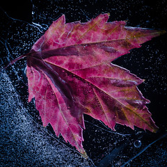Maple In Ice #2 (Alan Drake) Tags: red ice leaves digital square frozen maple nikon foliage d7000