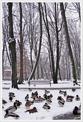 waiting for food... (green_lover) Tags: park trees winter snow birds animals bench ducks poland mallards żyrardów abigfave