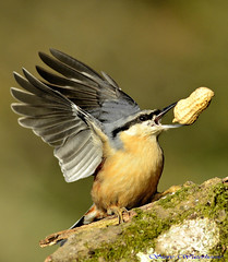 Nuthatch.(EXPLORED) (spw6156) Tags: copyright steve  iso nuthatch f28 waterhouse converter 1250 2x explored lenscropped d800300mm