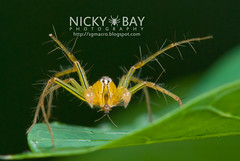 Lynx Spider (Oxyopes sp.) - DSC_8014 (nickybay) Tags: macro spider singapore lynx oxyopidae oxyopes republicpolytechnictrail