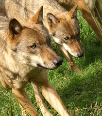 2009-08-03 7D JB 0020#co (cosplay shooter) Tags: panoramapark x201803 100x wolf lupus loup lupo lobo varg ulv susi kurt fortfun