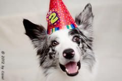 52/52 - 2012 - Birthday Boy (Cizsel) Tags: birthday old blue 2 two dog storm collie border years merle 5252 pentacon50mmf18 52weeksfordogs
