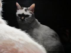 IMG_2217_au (thebiblioholic) Tags: cats reflection pico photofriday