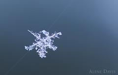 Caught [Explored] (Alene Davis) Tags: snowflake blue winter snow macro spiderweb spidersilk