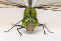 A huge drangonfly. (Andy @ Pang Ket Vui ( shootx2 )) Tags: macro green eye nature face forest dragonfly borneo