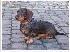Nachbars Dackel - neighbor´s dachshund