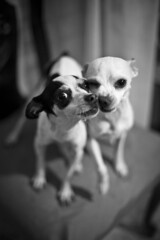 Cachorros (:: cristal cosmico ::) Tags: portrait dog chihuahua dogs puppies bokeh perros perritos