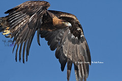 Golden Eagle in flight (Daryl L. Hunter - The Hole Picture) Tags: usa closeup flying inflight unitedstates idaho fullframe goldeneagle swanvalley