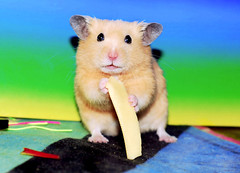 """Yes, I like Cheese."" ~ Mufinek (pyza*) Tags: pet cute animal monster mammal rodent critter small adorable hamster lovely syrian hammie syrianhamster chomik mufinek"