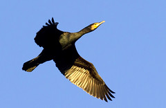 Cormorant (Alchimi) Tags: bird wales wildlife flight cormorant kidwelly