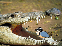 Crocodile Bird (birdorable) Tags: cute bird photoshopped myth crocodilebird egyptianplover birdorable