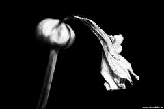Chopin: Preludes op.28 / No.2 - 399/731 (Vlachbild) Tags: flowers blackwhite daily amaryllis environment chopin sonystf135mmf28t45 sonyslta65 project73102february2013 project731399