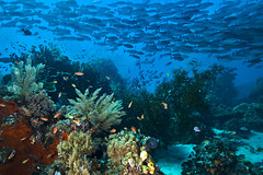 Coral Reef in Papua (placetobcop21) Tags: asia beauty corals day defendingouroceanscampaigntitle fish indonesia kwcigpi nature oceanscampaigntitle oceanstopography outdoors papua seas shoalsoffish southeastasia underwatershots