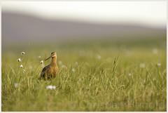 bar-tailed godwit (Christian Hunold) Tags: bird alaska nome tundra shorebird bartailedgodwit sewardpeninsula pfuhlschnepfe christianhunold