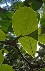 (C. Neil Scott) Tags: westcolumbiasc southcarolina leaf leaves