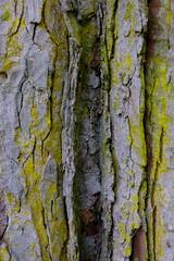 Elm bark (Richard Xe) Tags: elm bark texture tree pastel lichen