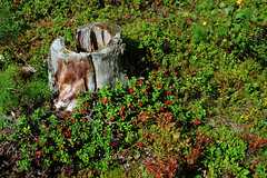 Time for picking lingonberries (Ib Aarmo) Tags: forest stump lingonberries berries outdoor nature