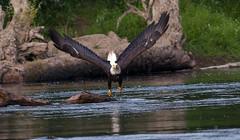 Riverbend BG River flight #3 07-31-2016 (1 of 1) (jonathan.pratt14) Tags: haliaeetusleucocephalus americanbaldeagle adultbaldeagle baldeagle nikond3 sigma150600mmf563 raptor washingtonstate wildlifephotography riverbendeagles birdofprey