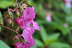 Springkraut (DianaFE) Tags: dianafe blume blte wildkraut wiesenblume tropfen regen makro tiefenschrfe schrfentiefe
