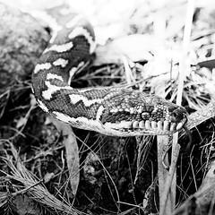 Carpet python (cc7740) Tags: carpetpython australia springbrooknationalpark queensland snake