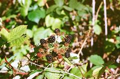 Himalayan Blackberries (bac1967) Tags: petrift petri kodak film 35mm kodakgoldultra400 kodakgold 35mmfilm expired expiredfilm 1996 041996 c41 c41film slr petriftslr himalayan blackberries himalayanblackberries himalayanblackberry blackberry bush plant shrub port orchard wa washington portorchardwa portorchard pnw