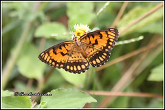 6377 - common joker (chandrasekaran a 34 lakhs views Thanks to all) Tags: joker butterfly insects nature india chennai canon60d canonef70300mm