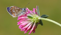 Common Blue 110816 (11) (Richard Collier - Wildlife and Travel Photography) Tags: insects naturalhistory wildlife butterflies commonblue macro british britishinsect closeup ngc